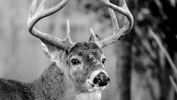 Black & white photo of a reindeer